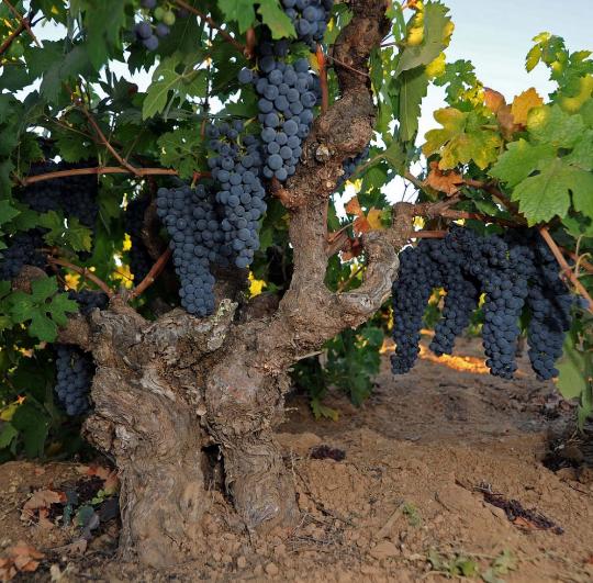 Moore Vineyard Zin Vine